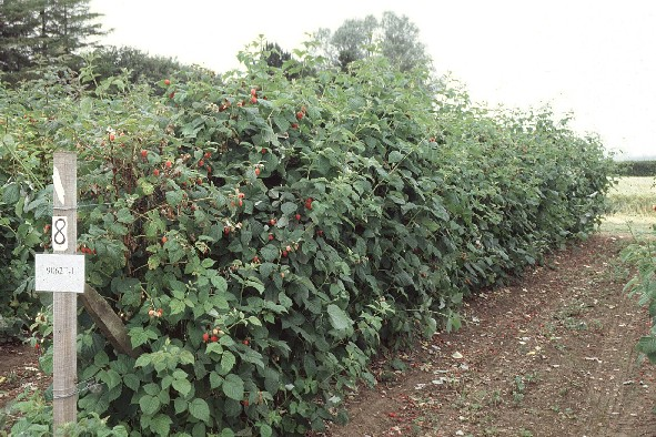 Traditional raspberry cultivation